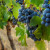 Tip of the Tongue: saperavi wine now available in Queensland